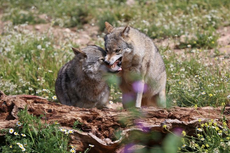 Wolf Wildlife & Nature Andalucía SPAIN My Favorite Photo ShareTheMeal Beauty In Nature WOlves Enjoying Life Beautiful Nature Photography Travel Photography Naturelovers Nature_collection Nature Enjoying The View Travelling Animals Wildlife Animal Green Travel Colors The Great Outdoors With Adobe Traveling The Photojournalist - 2017 EyeEm Awards