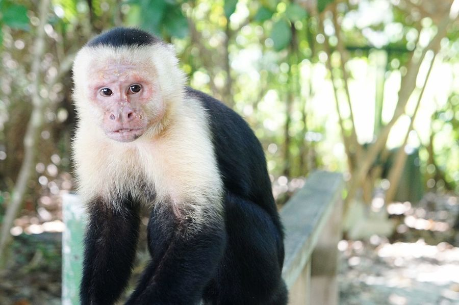 Animal Themes Mammal Portrait Nature Looking At Camera One Animal Tree Day Primate Monkey Animals In The Wild Outdoors No People Close-up Nature Photography Nature Animals In The Wild Animal Photography Eye Contact Costa Rica Monkeys Animal Wildlife Earth Our Planet