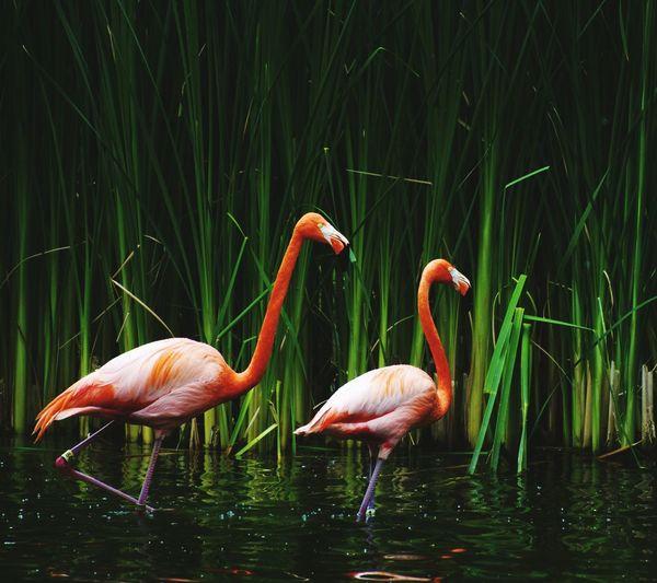 Flamingoes In Lake Against Plants