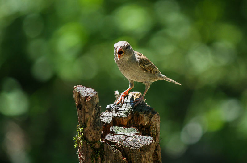 Bird Animal Themes Animal Bird Animal Wildlife Animals In The Wild One Animal Vertebrate Perching Focus On Foreground Wood - Material No People Day Full Length Tree Nature Outdoors Close-up Robin Sparrow Selective Focus Bark Mouth Open Wooden Post