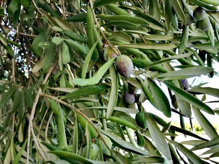 Growth Green Color Leaf Plant Nature Backgrounds Full Frame No People Outdoors Day Beauty In Nature Close-up Tree Freshness Food And Drink Plants And Flowers Turkish Riviera Turkey♥ Nature Olive Tree Blue Sky Olive Tree Landescape Olives Trees