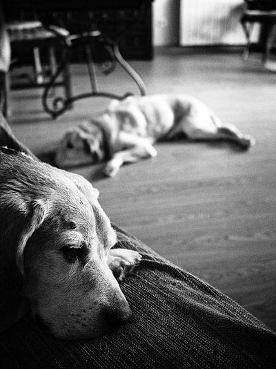 Dos viejitos Animal Head  Beagle Beaglelovers Cute Dog Domestic Animals E-M1 Focus On Foreground Labrador Retriever LabradorRetriever Lying Down Mammal Olympus Olympus OM-D EM-1 OM-D Pets Relaxation Resting Selective Focus Sleeping Sofa