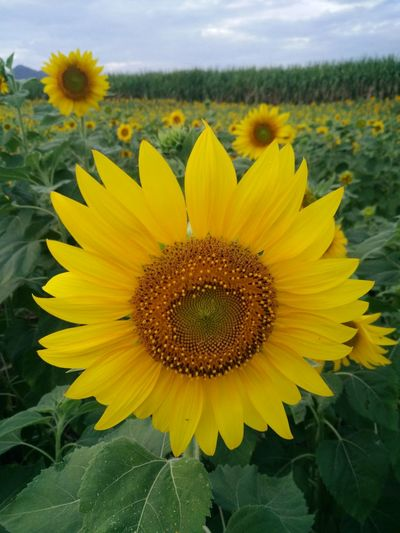 Sunflower field with cloudy sky. Fieldscape Beauty In Nature Blooming Close Up Flowers Close-up Day Field Flower Flower Head Fragility Freshness Growth Leaf Nature No People Outdoors Petal Plant Pollen Sky Skyscraper Springtime Sunflower Yellow