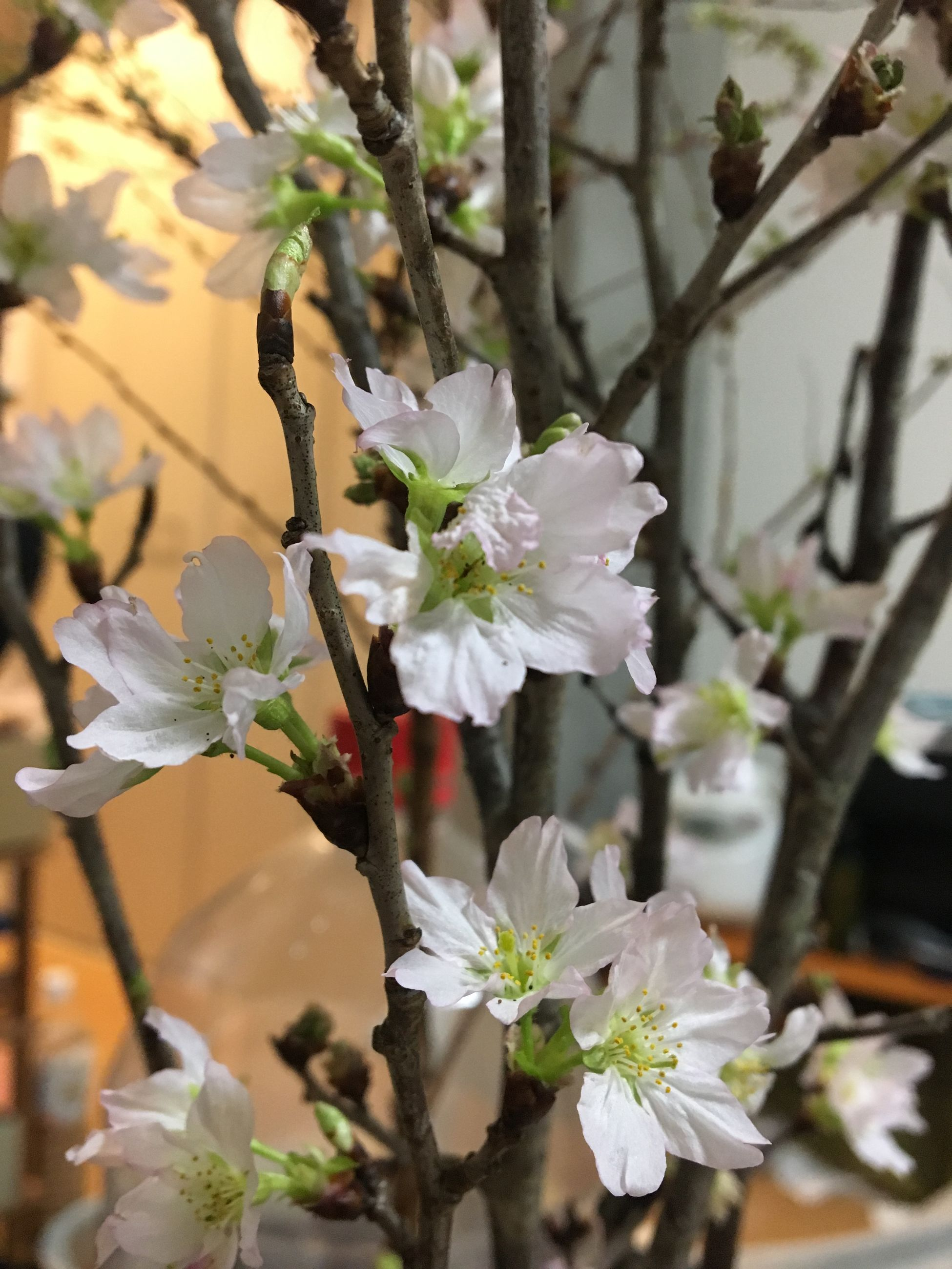 flowering plant, flower, plant, beauty in nature, fragility, vulnerability, freshness, growth, close-up, petal, focus on foreground, white color, nature, no people, tree, day, flower head, inflorescence, springtime, outdoors, pollen, cherry blossom