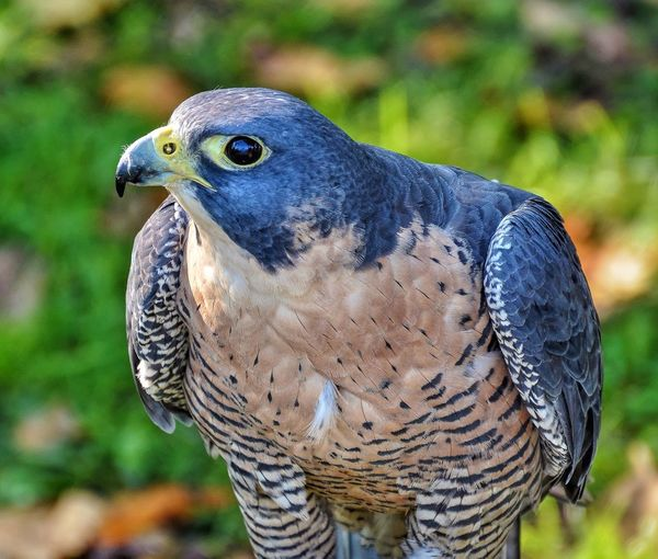 Close-up of peregrine falcon against blurred background