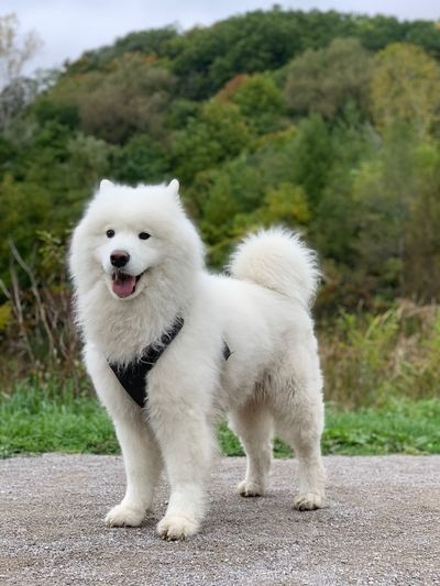 Pup adventures Whitedog Samoyed Animal Mammal Animal Themes Domestic One Animal Pets White Color Dog Focus On Foreground Animals In The Wild Canine Outdoors EyeEmNewHere