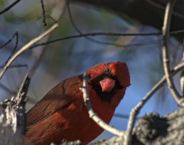 Cardinal looking at me Bird Photography Birds Of EyeEm  Cardinal Red Bird Animal Themes Animal Wildlife Animals In The Wild Bird Birds Birds_collection Branch Cardinal - Bird Close-up Day Domestic Animals Low Angle View Mammal Nature No People One Animal Outdoors Red Red Color Tree