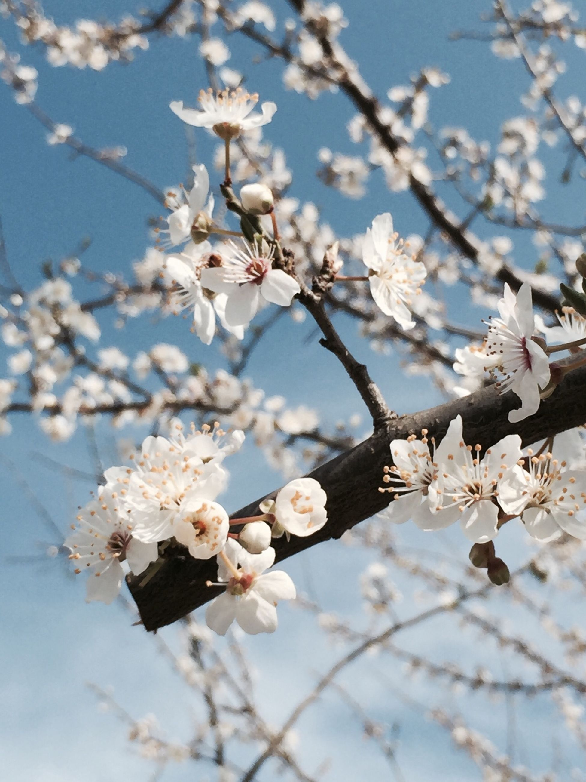 flower, branch, freshness, cherry blossom, tree, fragility, blossom, cherry tree, growth, white color, beauty in nature, nature, apple blossom, apple tree, petal, focus on foreground, twig, fruit tree, springtime, blooming