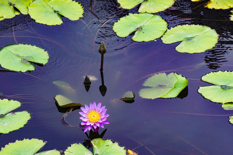 High angle view of purple lotus water lily in lake