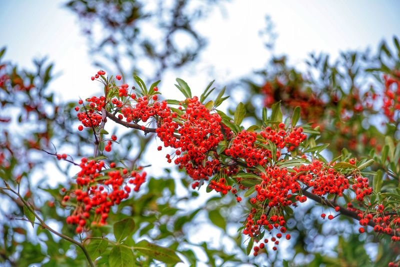 Red fruit is not good for eating Red Plant Fruit Tree Berry Fruit Growth Nature No People Focus On Foreground Food Healthy Eating Food And Drink Beauty In Nature Day Low Angle View Freshness Branch Rowanberry Leaf Close-up