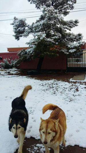It's Cold Outside Huskies Cananea, Sonora.