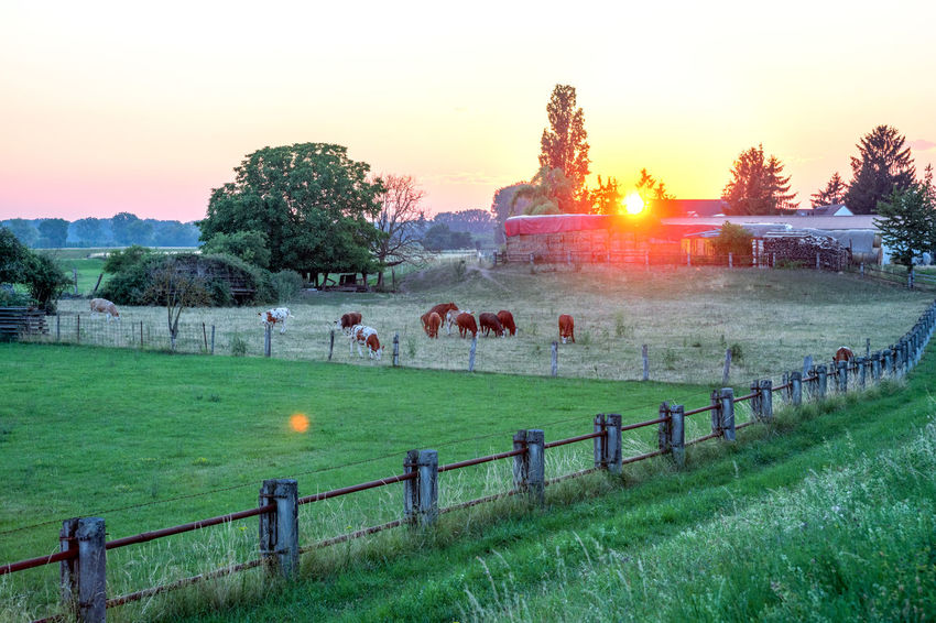 Farm House with cows Agriculture Farm Farmer Farmland Grass Cattle Cow Cow In Field Cows Farm House Grange Herd No People Nobody Sundown Sunset