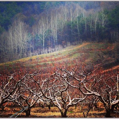 겨울 과수원, 경산 Winter Orchard, Kyeongsan Korea  겨울  과수원  경산  나무 Winter Orchard wood Kyeongsan tree