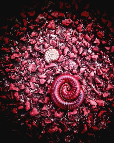 Indoors  No People Red Textured  Full Frame Close-up Nature Day Millipede Millipede Caterpillar Millipede Coil Millipedes Pet Portraits Perspectives On Nature This Is Family