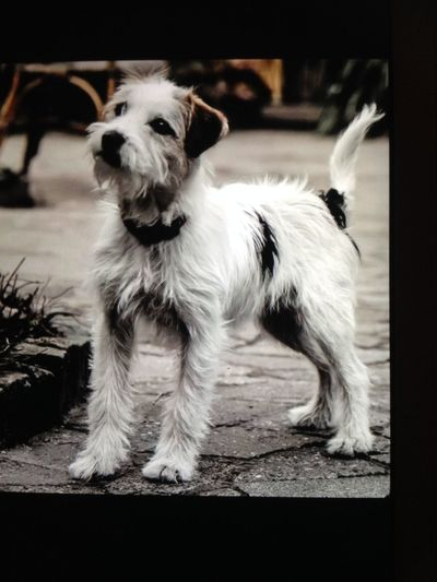 Parson Russell Terrier EyeEm Selects Pets Dog Portrait Puppy Cute Border Collie Ear