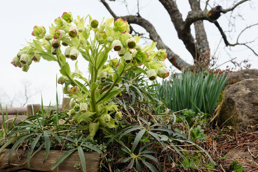 Helleborus Foetidus Beauty In Nature Close-up Flower Flower Head Green Color Hellebore Nature No People Plant Spring Flowers Stinking Hellebore Wild Flowers