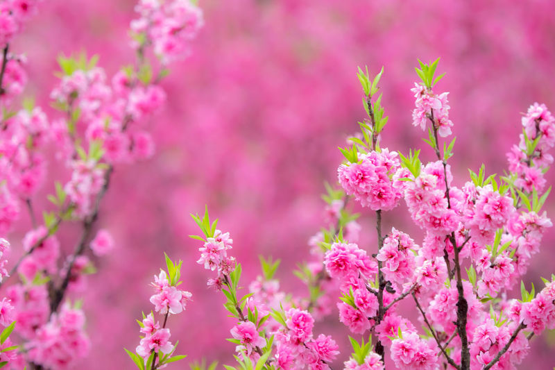 Beauty In Nature Bunch Of Flowers Cherry Blossom Close-up Flower Flowering Plant Nature Pink Color Plant Springtime