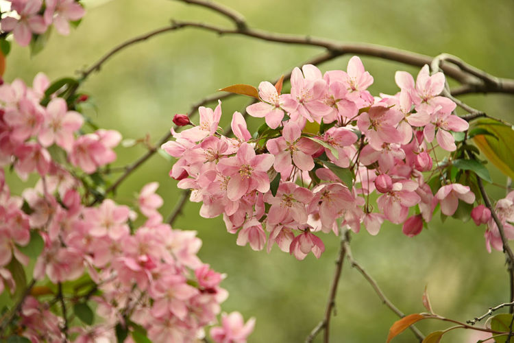 Close up pink crabapple blossoms Flower Flowering Plant Plant Pink Color Fragility Vulnerability  Beauty In Nature Freshness Growth Petal Close-up Nature Tree Blossom No People Day Flower Head Inflorescence Springtime Outdoors Cherry Blossom Apple Tree Apple Blossom Crabapple Blossoms Crabapple Tree In Bloom Blooming Season  Fruit Tree Branch Focus On Foreground Bunch Of Flowers