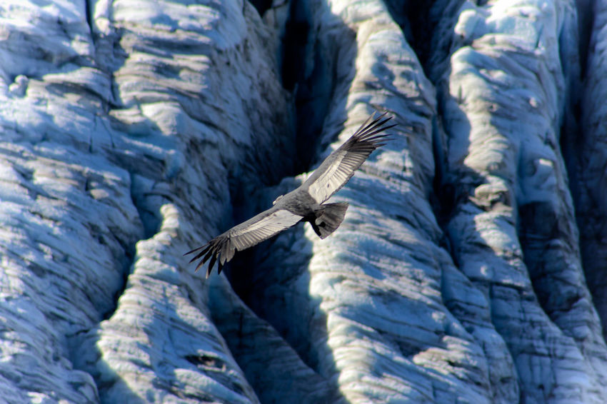 Abundance Aves Aves De Argentina Backgrounds Blue Close-up Condors Cóndor  Day Detail Focus On Foreground Freebird Full Frame Geleira Glaciar Glacier Nature No People Outdoors Part Of Passaros Wildlife Wildlife & Nature