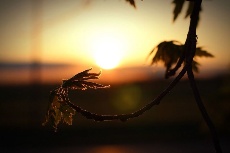 Close-up of silhouette plant against sunset