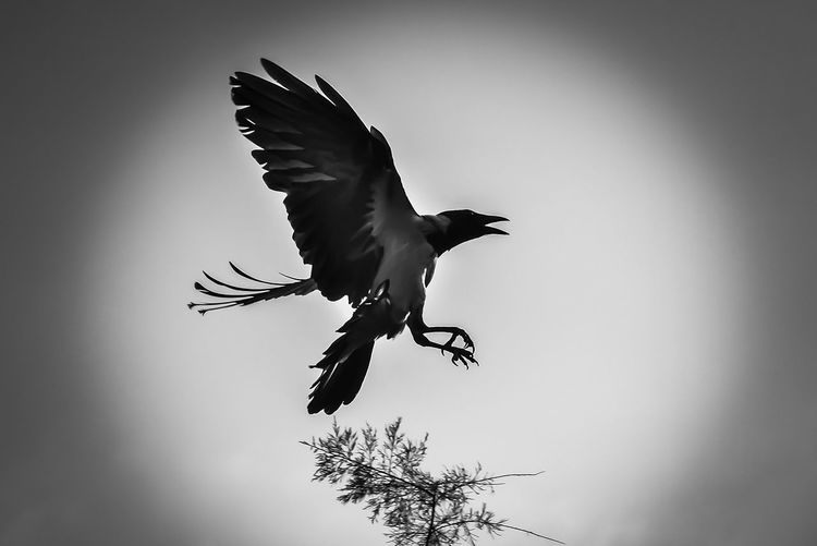 Black & White Animal Animal Themes Animal Wildlife Animals In The Wild Bird Flying Mid-air Motion Nature One Animal Outdoors Sky Spread Wings Tree