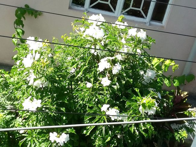 Hello World ✌ At My House <3 Today's Click 2015  Green Leaves White Flower