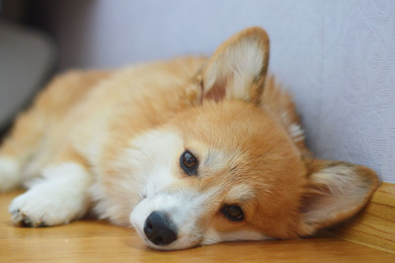 Close-up portrait of dog resting on floor at home