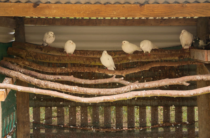 White doves in an Aviary Doves White Doves Animal Themes Avairy Avery Bird Perching