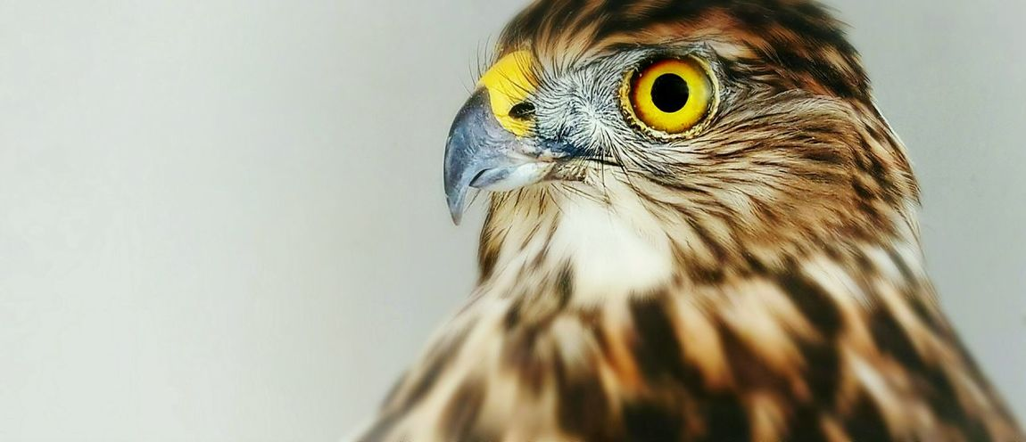 Bird Of Prey Bird Bird Photography Animal Photography Animalportrait Close-up Zoology Wildlife Pets One Animal No People Domestic Animals Alertness Animal Themes Details Focal Point Animal Head  Avion Curiosity Sadeyes Feathers