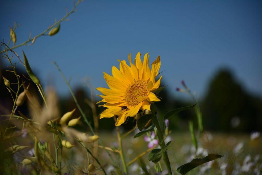 Flower Head Flower Rural Scene Closing Yellow Sunflower Summer Agriculture Living Organism Flowering Plant