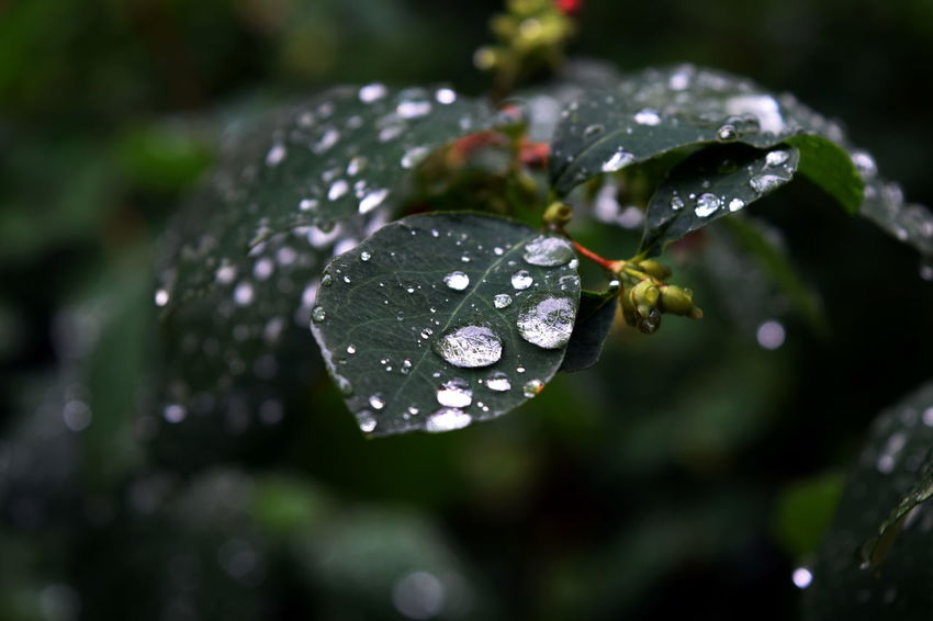 Beauty In Nature Close-up Drop Focus On Foreground Leaf Leaves Natural Pattern Nature Purity RainDrop Selective Focus Water Weather Wet