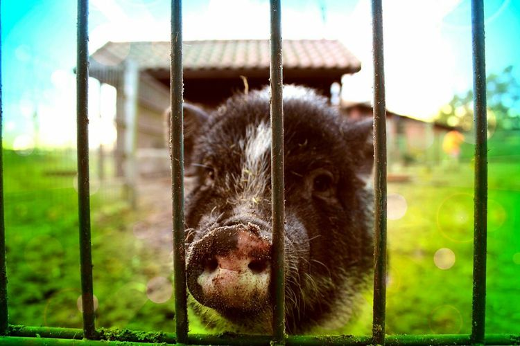 Pig The Places I've Been Today Cute Pets Photo Art