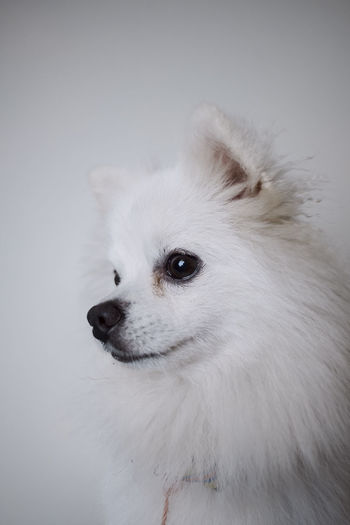 dog side Animal Animal Body Part Animal Hair Animal Head  Animal Themes Canine Close-up Dog Domestic Domestic Animals Looking Looking Away Mammal No People One Animal Pets Pomeranian Studio Shot Vertebrate White Color