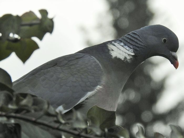 Animal Themes Bird Animal Vertebrate Animals In The Wild Animal Wildlife One Animal No People Nature Day Focus On Foreground Close-up Plant Perching Tree Beauty In Nature Outdoors Branch Low Angle View Pigeon Ivy Bird Photography Birds_collection Nature_collection Nature Photography Naturelovers Detail