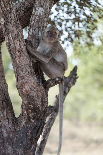 Adult monkey in the baluran national park Animal Animal Themes Animal Wildlife Animals In The Wild Branch Day Focus On Foreground Mammal Monkey Nature No People One Animal Outdoors Plant Primate Sitting Tree Tree Trunk Trunk Vertebrate