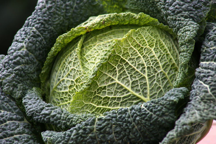 Savoy cabbage details close-up on dark or white background Backgrounds Close-up Day Food Food And Drink Freshness Green Color Growth Healthy Eating Leaf Nature No People Outdoors Pattern Textured  Vegetable Focus On Foreground Wirsingkohlblatt Flat Lay Flatlay Cabbage Wirsingkohl Savoy Savoy Cabbage Savoy Cabbage Leaf