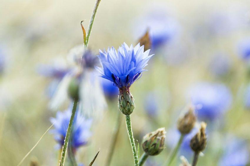 Kornblume Feld Blumen