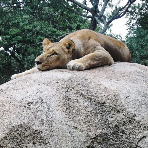 View of a lion resting on rock