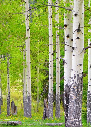 Aspens Aspen Green Landscape_Collection Colorado Colorado Photography Bark Texture Bark Tree Trunk Tree TreePorn Lines Yellow Flower Outside Photography Beauty In Nature No People Landscape_captures Tree Forest Lush - Description Tree Trunk WoodLand Grass Green Color Grove Countryside Woods