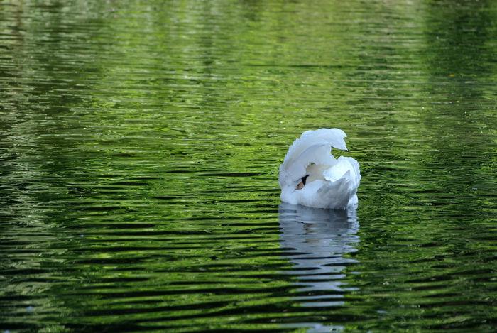 Hidden Bird One Animal River Soar Swan Water White And Green White Bird