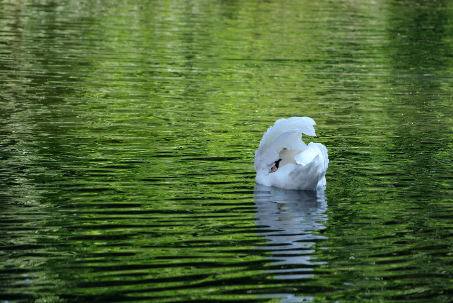Hidden Bird One Animal River Soar Swan Water White And Green White Bird