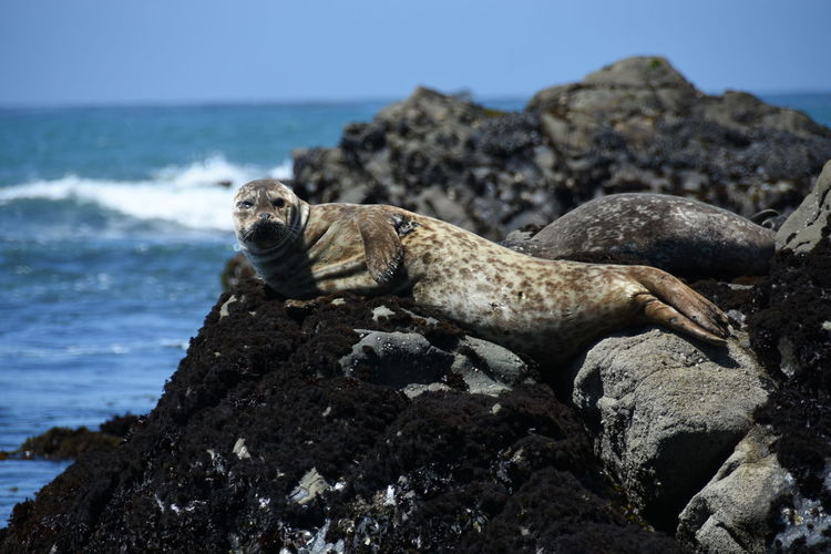 Seal on rock at beach against sky