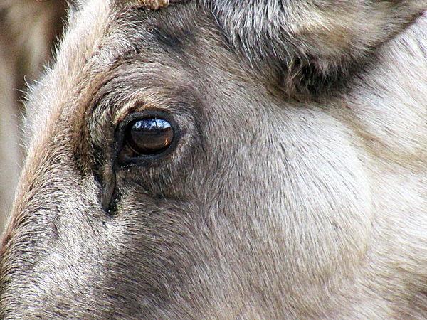 Close-up Dem Rentier Ins Auge Geschaut One Animal Rostock 2017 The Reindeeer In The Eye