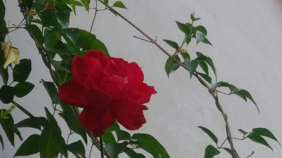 Rosé Plant Leaf Flower Growth Red Nature No People Outdoors Day Beauty In Nature