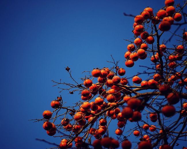 Low angle view of persimmon fruits against clear blue sky