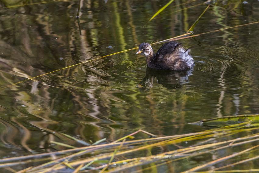 A dabchick on a pond Nature Pond Tachybaptus Ruficollis, Animal Animals Life Animals World Bird Birds Birds Life Birds World Dabchick Grebes Lake Landscape Loon Outdoors Reed River Sea Water Wildlife