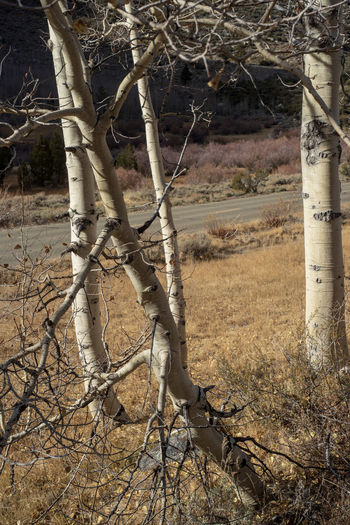 white bark Aspen trees in autumn Sierra Nevada mountains of California Tree Forest Land Plant Nature No People Trunk Tree Trunk Day Outdoors Aspen Trees Autumn colors Autumn Landscape Sierra Nevada Mountains California Love Nature Photography Rural Road Rural America