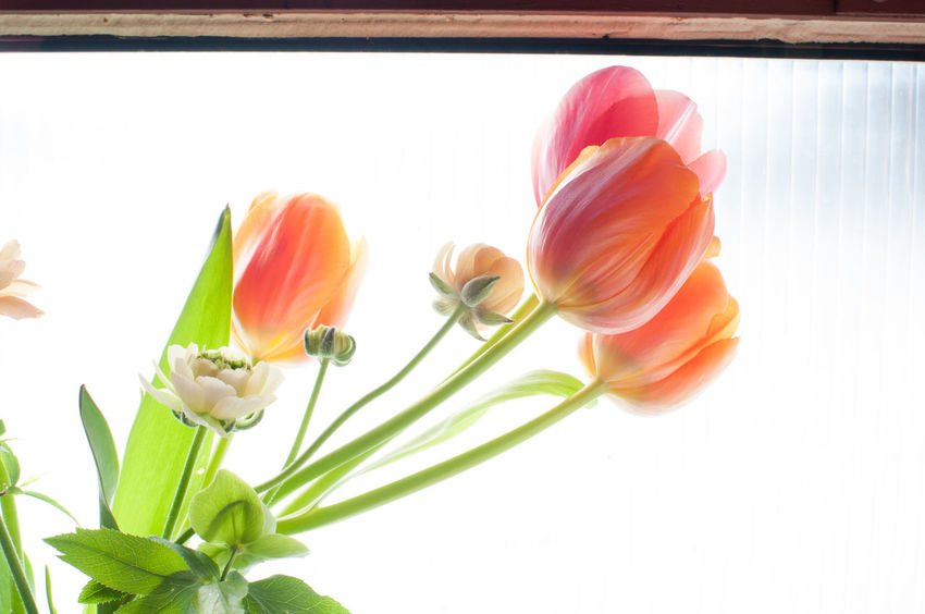 Backlight Backlighting Blooming Bright Daylight Flower Flowing Fragility Freshness Gentle Green Happy In Bloom Indoors  No People Petal Petals Pink Pink Flower Smooth Tulip Tulips White Background Window