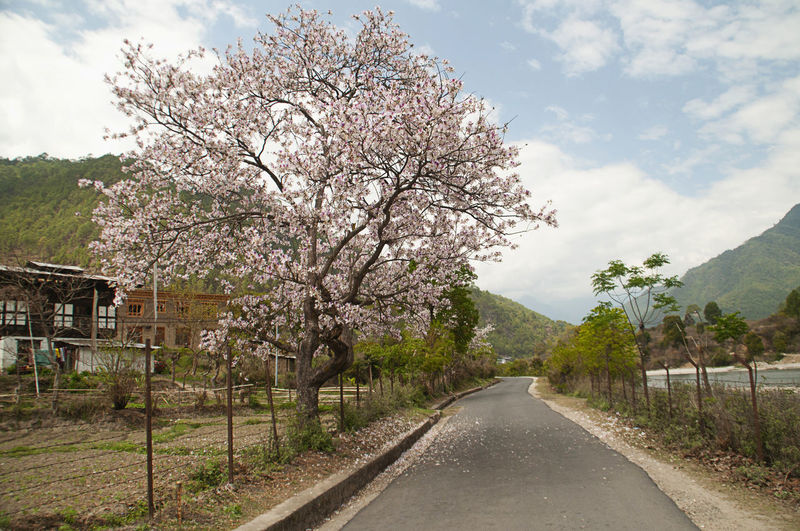 Cherry blossoms on road against sky