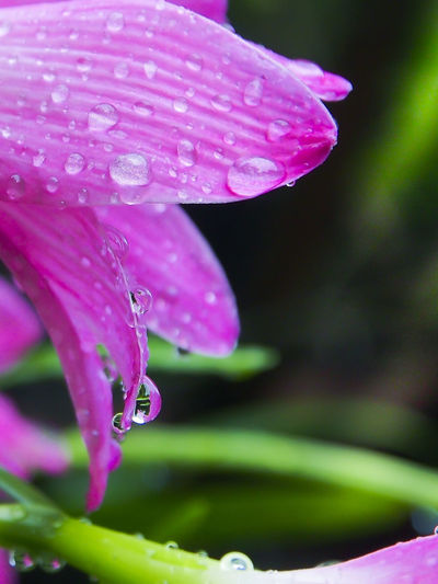 Beauty In Nature Blooming Blossom Close-up Day Dew Drop Droplet Flower Flower Head Focus On Foreground Fragility Freshness Growth In Bloom Nature No People Outdoors Petal Pink Color Plant Purple Selective Focus Stem Water